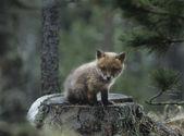 Fox Cub Sitting on Tree Stump — Stock Photo