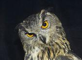 Great horned owl. — Stockfoto