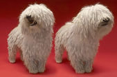 Komondor Dogs — Stock Photo