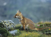 Fox Sitting by Rock — Foto Stock