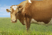 Brown cow in field — Stock Photo