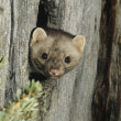 Stock Photo: Weasel Peeking from Tree Knot