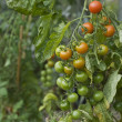 Stock Photo: Fresh Tomatoes Growing