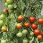 Tomato Plant — Stock Photo #33842909