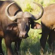 African buffaloes — Stock Photo
