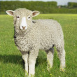 Stock Photo: Lamb standing in green meadow