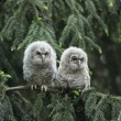 Stock Photo: Two Owlets on Branch