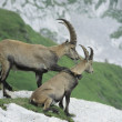 Foto Stock: Alpine Ibexes