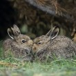 Stock Photo: Rabbits Nuzzling