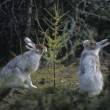 Stock Photo: Two Hares Nibbling on Small Tree