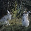Two Hares Nibbling on Small Tree — Stock Photo