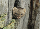 Weasel Peeking from Tree Knot — Stock Photo