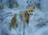 Fox Standing on Frost-covered Grass — Stock Photo