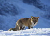 Red Fox in Snowy Field — Stock Photo