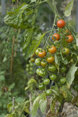 Fresh Tomatoes Growing — Foto Stock