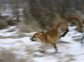 Red Fox Running — Stock Photo