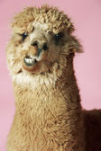 Alpaca on pink background — Stock Photo