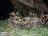 Rabbits Nuzzling — Stock Photo