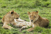 Female lions — Stock Photo