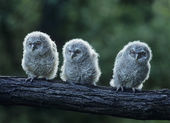 Three Owlets on a Branch — Stock Photo