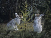 Two Hares Nibbling on Small Tree — Стоковое фото