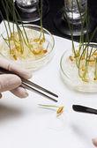 Personne ramasser des germes de haricot avec des pincettes — Photo