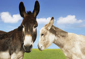 White and brown donkey in field — Stockfoto