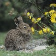 Stock Photo: Rabbit Eating Yellow Clover