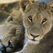 Stock Photo: Two Lions resting
