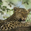 Stock Photo: Leopard resting in tree