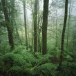 Stock Photo: Australitrees in rainforest