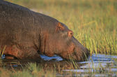 Hippopotamus bathing in waterhole — Foto Stock