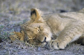 Lion sleeping on savannah — Stock Photo