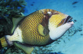 Trigger Fish — Stock Photo