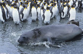 Seal lying beside Penguin colony — Stock Photo