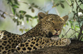 Leopard resting in tree — Stock Photo