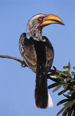 Hornbill sitting on branch — Stock Photo