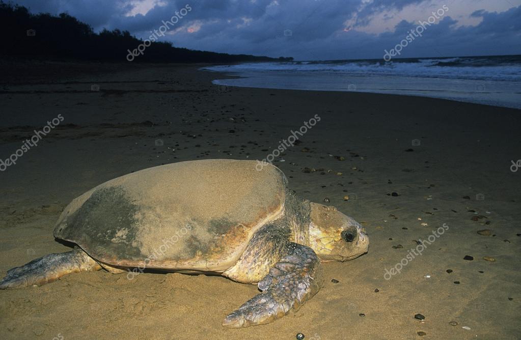 Флорида турнир кожистая черепаха