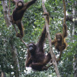 Three Orangutans hanging in trees — Stock Photo #33860211