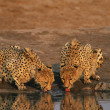 Two Cheetahs drinking at waterhole — Stock Photo