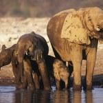 African Elephant — Stock Photo #33862461