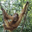 Orangutclimbing tree — Stock Photo #33862911