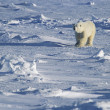 Polar Bear walking in snow Yukon — Stock Photo #33863027