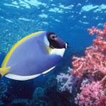 Surgeon Fish — Stock Photo #33863293