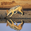 Stock Photo: Black-backed Jackal at waterhole