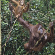 Two Orangutans hanging in trees — Stock Photo #33863677