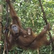 Young Orangutembracing mother in tree — Stock Photo #33864237