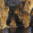Lions drinking at waterhole — Stock Photo #33864413