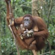 Orangutembracing young in tree — Stock Photo #33865565