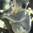 Koala sitting in tree — Stock Photo #33865971